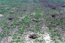 Richardson's ground squirrel damage