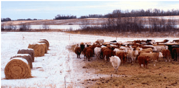 Cows bale grazing